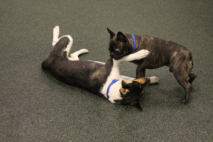 Dogs Rolling on Ground