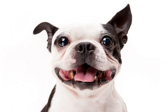 Smiling Boston Terrier Dog on White Background Close-up