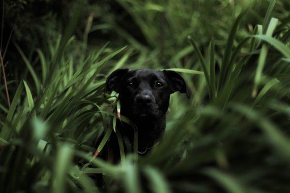 Black Dog Hiding in Grass