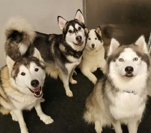 Four Huskies