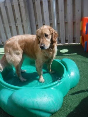 Golden Retriever in Pool