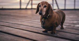 Obese Dachshund dog