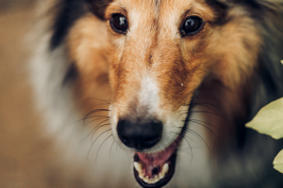 Sheltie Close Up
