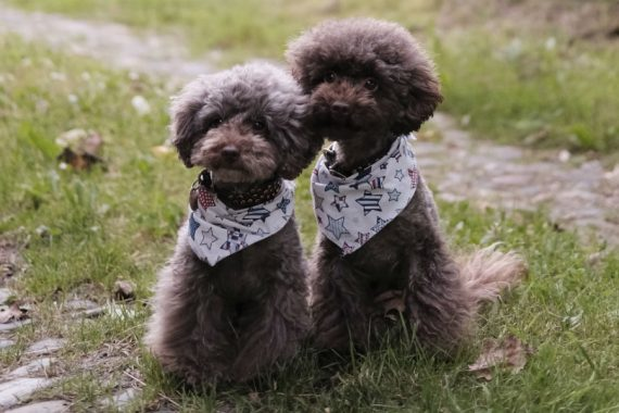 Two poodles playing