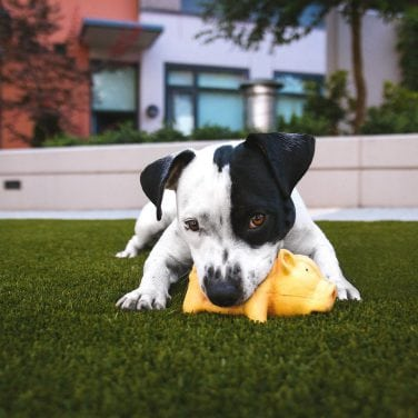Puppy playing with yellow toy