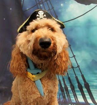 Dog Wearing Pirate Hat