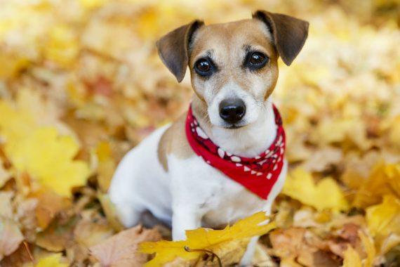 Dog Playing in Leaves Wearing Bandana