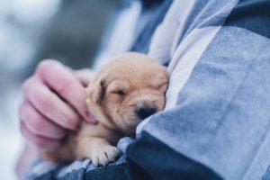 Tiny Golden Retriever Puppy