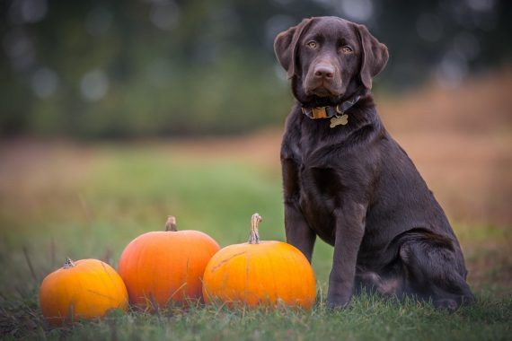 Chocolate Lab with Pumpkins