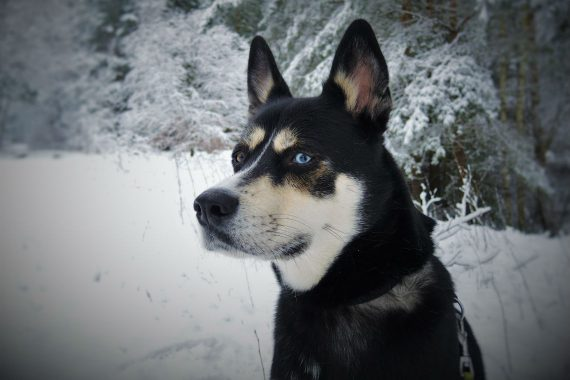 Husky in the Snow
