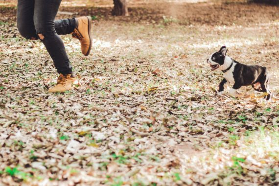 Boston Terrier Running After Owner