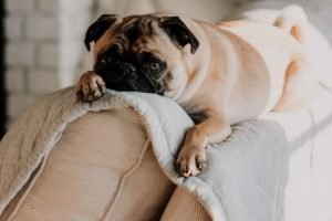 Pug Laying on Top of Couch