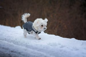 Small Dog Wearing Jacket in Snow