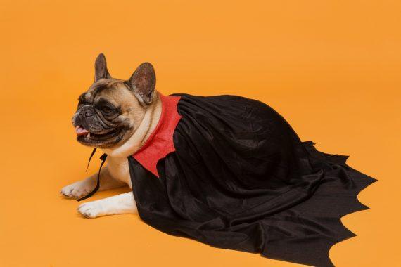 Pug in a vampire cape