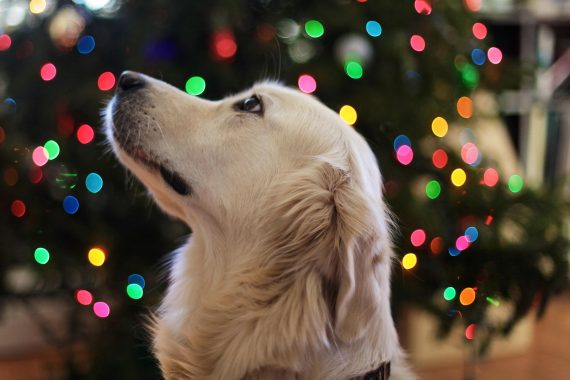 dog looking at the Christmas tree lights