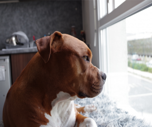 dog laying down and looking out a window
