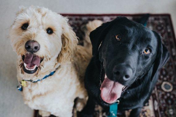 2 dogs sitting
