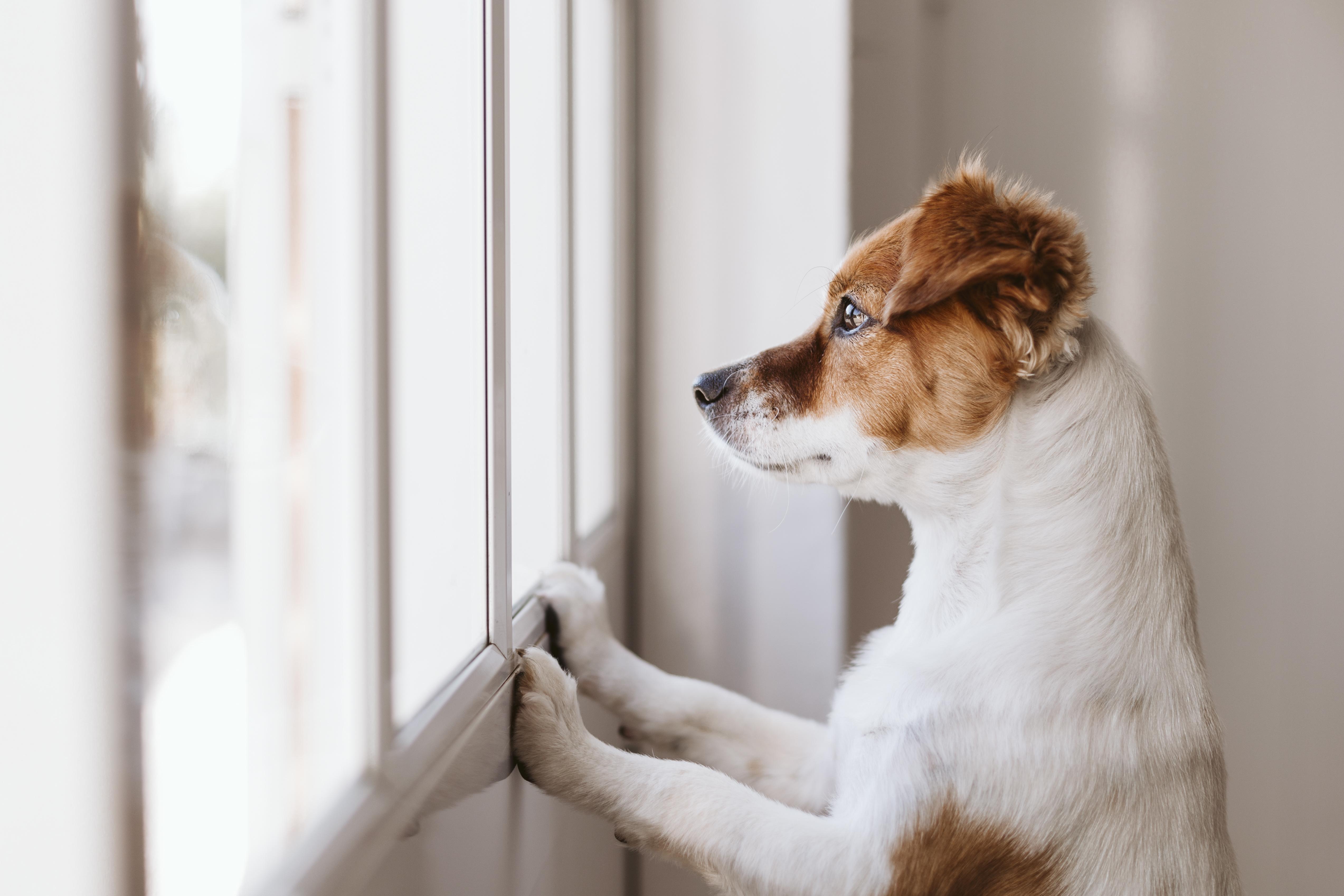 mignon petit chien debout sur deux pattes et regardant ailleurs par la fenêtre à la recherche ou en attente de son propriétaire.  Animaux à l'intérieur