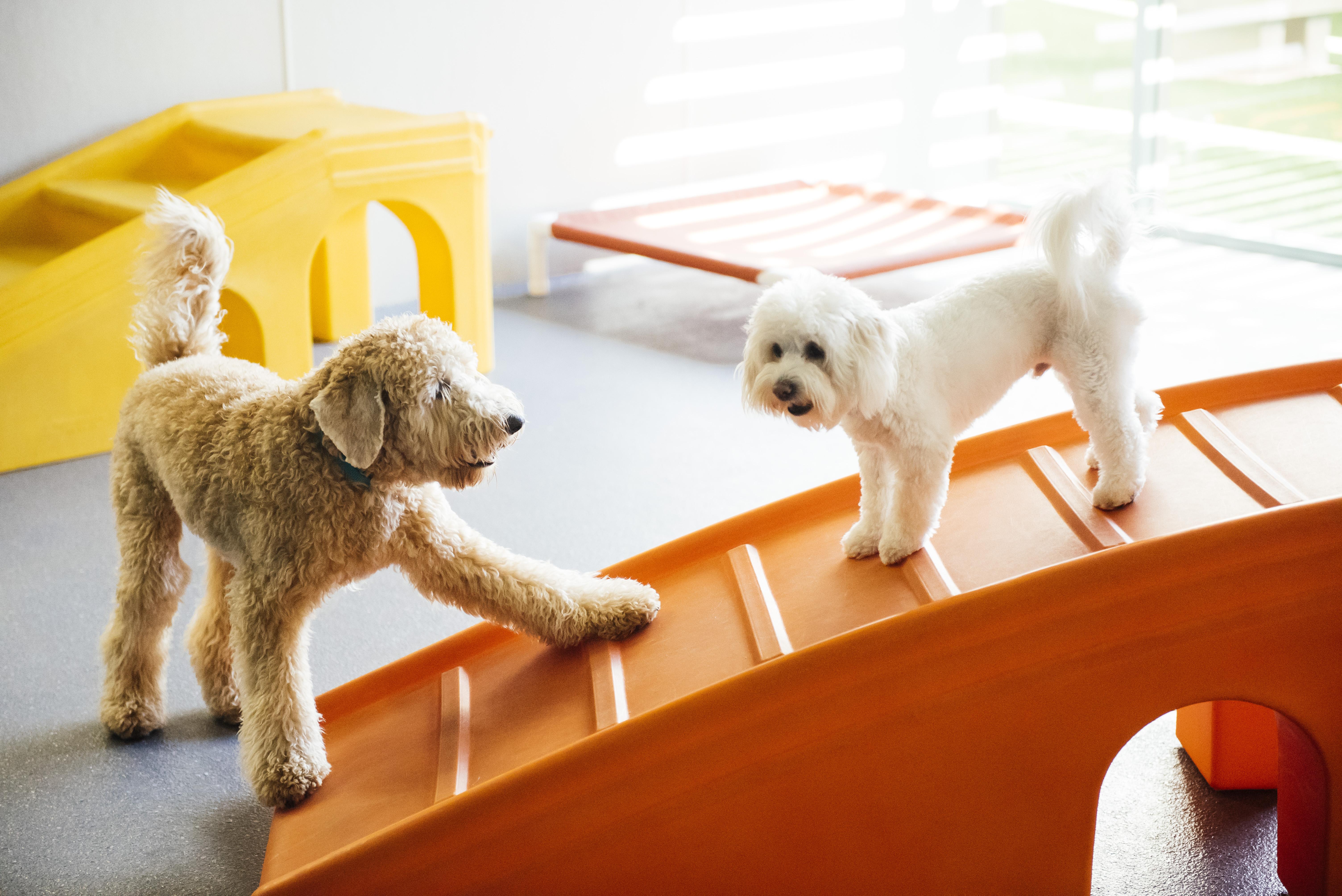 Socialisation des chiots dans les garderies Dogtopia.
