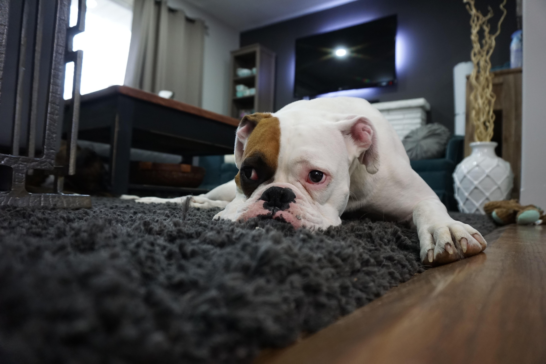 Signes que votre chien souffre d'anxiété de séparation.