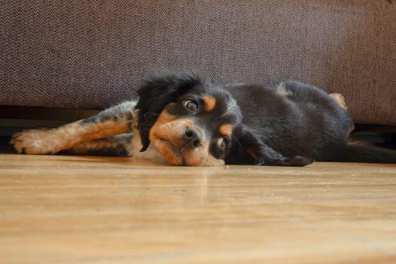 Coronavirus impact on dog's mood and behavior