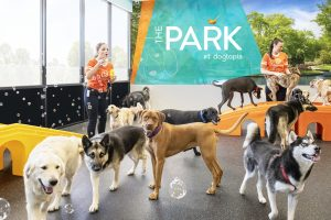 Dogs spend 8-10 hours socializing in open playrooms at Dogtopia daycare