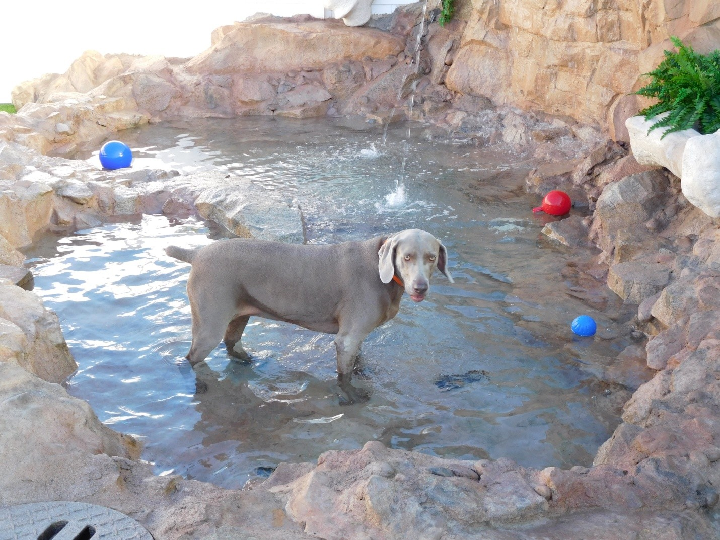 Stella (Weimaraner) Cooling off at one of the pools