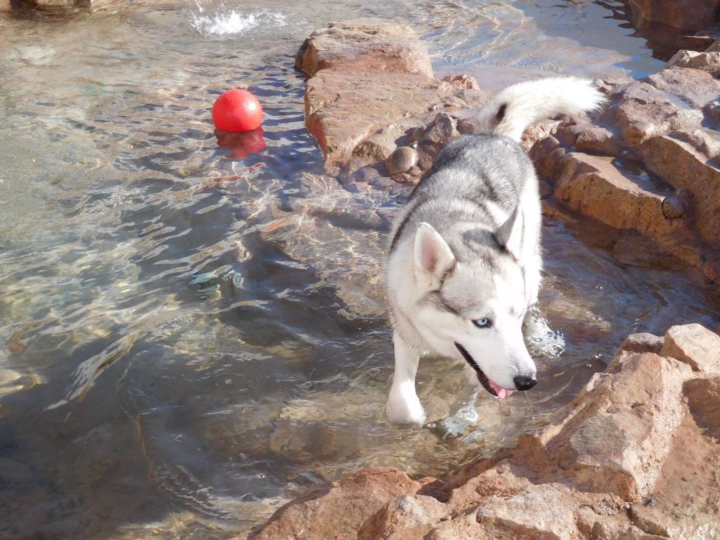 Yoskie (Siberian Husky) playing in one of the pools