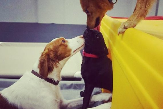 dogs playing at Mississauga daycare