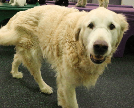Golden Retriever at play in Dogtopia Mississauga