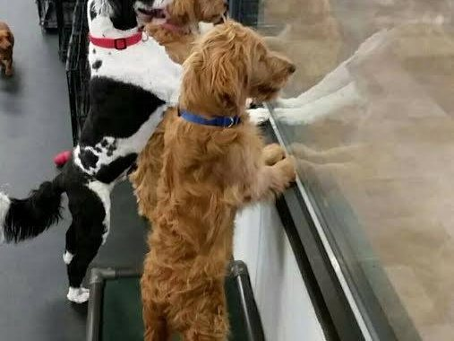 puppy socialization commerce mi
