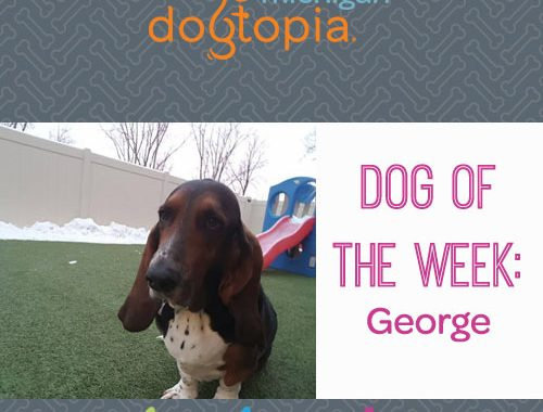 Dog day care bloomfield dog of the week george