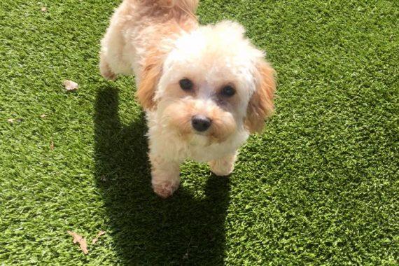 small dog at doggy daycare in birmingham mi