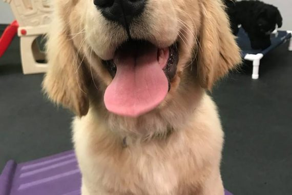 high energy dog breeds need exercise, especially golden retrievers in birmingham mi