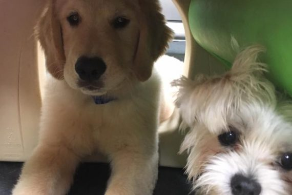 puppy training and puppy socialization in birmingham mi