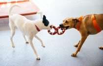 Two dogs chewing a toy at Dogtopia of Plano playroom.