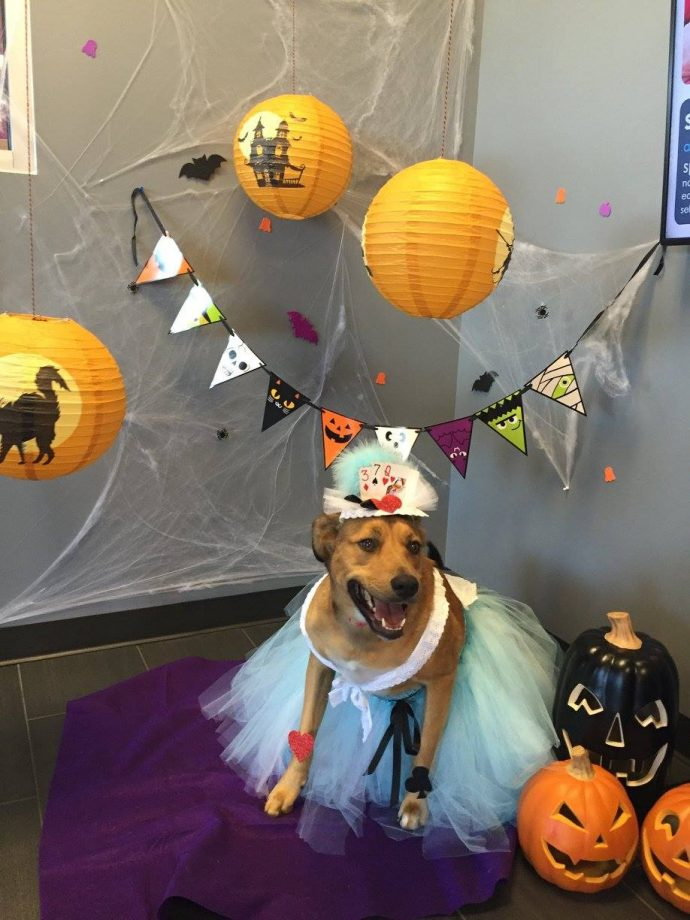 Halloween Costume Contest. Hailee the Hound /Lab mix posing in our Halloween themed Photo Booth