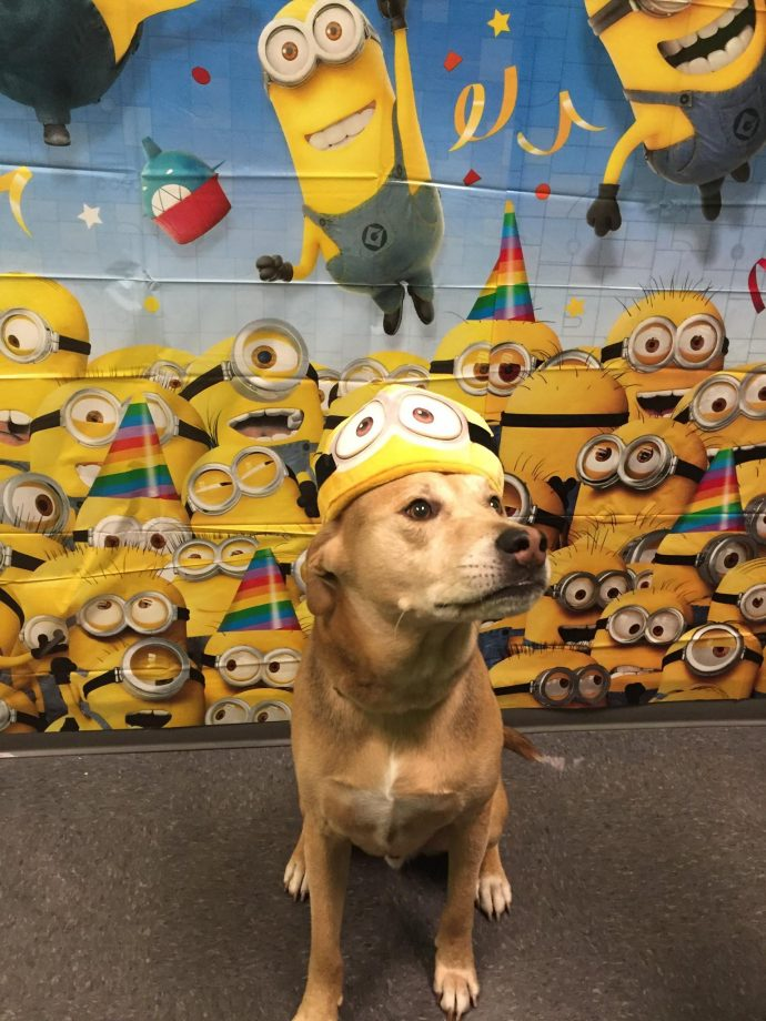 One in a Minion Part. Mr Fitz the Shepherd/Retriever mix having fun as one in a Minion!