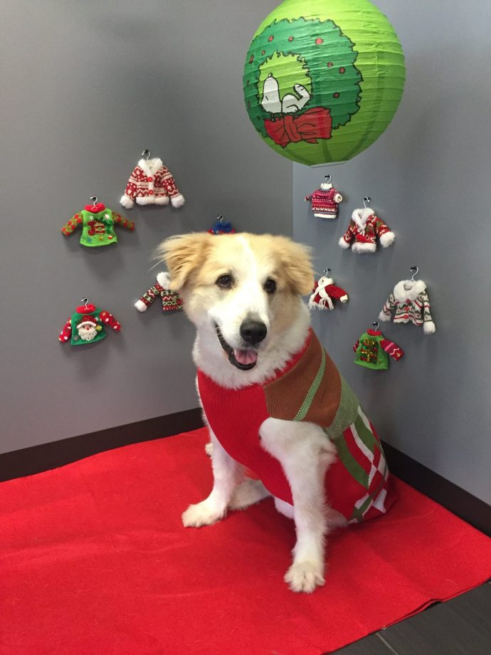 Ugly Christmas Sweater Party. Charlotte the Great Pyrenees mix posing with her Ugly Christmas Sweater