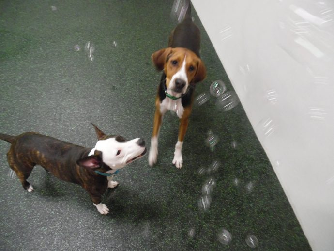 Wee Wednesdays. Stella the Boston Terrier mix and Holly the Beagle/Hound mix having a blast chasing bubbles
