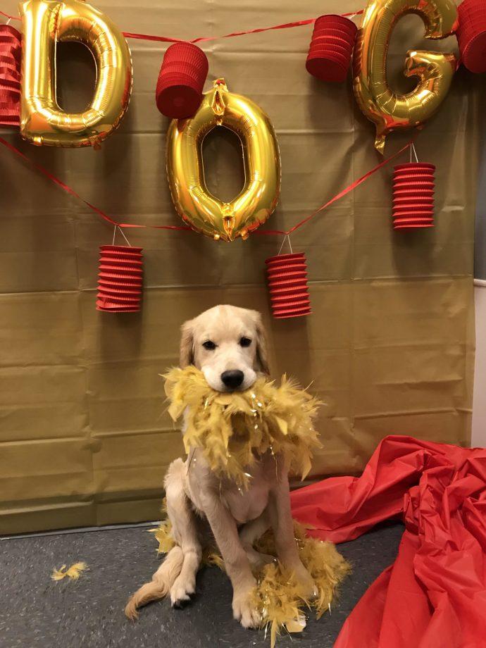 Year of the Dog Party. February 2018. Kenobi. Dakota Sport Retriever