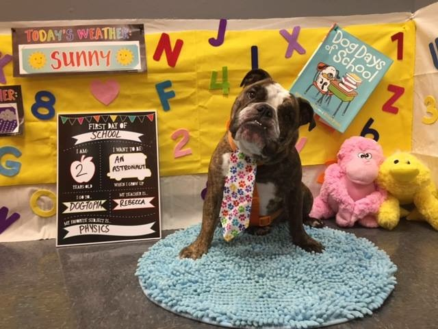 Bark to School Day. August 2017. Mila. English Bulldog