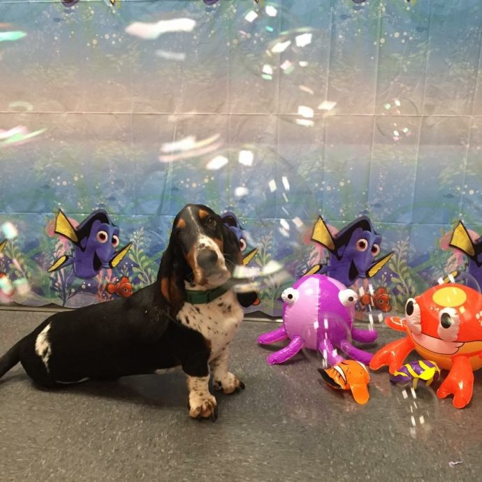 Under the Sea Party. June 2016. Humphrey (Basset Hound) with Sterling (Canine Coach)