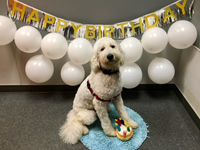 Birthday Party. May 2017. Dexter. Goldendoodle