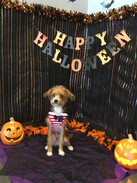 Halloween Costume Contest. October 2017. Clark. Terrier mix