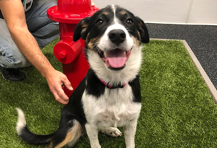 Entlebucher Mountain Dog happily sitting by a fire hydrant