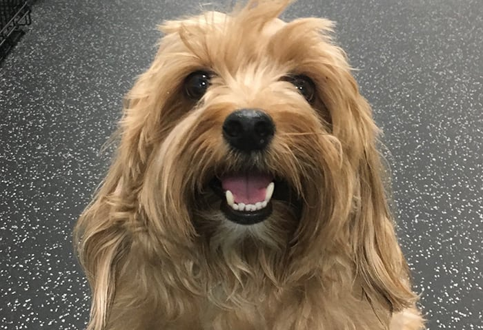 Smiling Norfolk terrier sitting on the floor