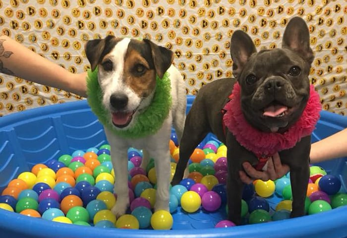 Jack Russel terrier and Pitbull in a ball pit
