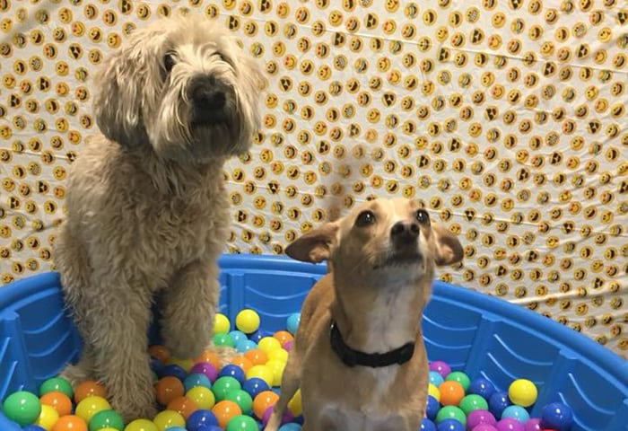 Wheaten Terrier and Chihuahua in ball pit