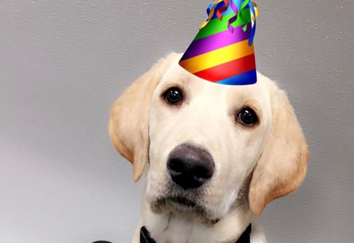 Golden Lab wearing a birthday hat